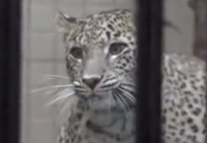 فیلم| انتقال یک قلاده پلنگ ایرانی به باغ وحش ارم