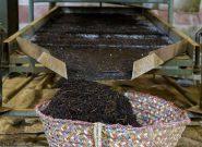۱۴۰۰ تن چای خشک در سیاهکل تولید شد