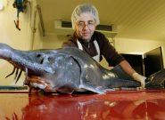 تولید ۸۵ تن گوشت ماهیان خاویاری در آستانه اشرفیه