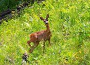 بچه گوزن نجاتیافته در جنگل سیاهکلرها شد