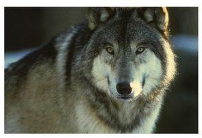 گرگهای گرسنه ۳۴ رأس گوسفند را دریدند
