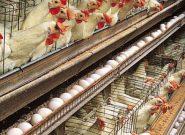 تولید تخم مرغ در ایلام + فیلم